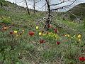Lëndina e tulipanëve.JPG