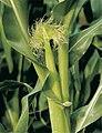 LPCC-798-Panotxa de blat de moro.jpg