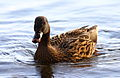 Lac d'Annecy - 20120101 - Canard colvert 01.JPG