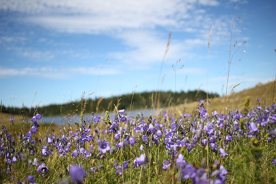 Lac des Pises - Fleurs (02).jpg