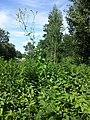 Lactuca quercina sl44.jpg