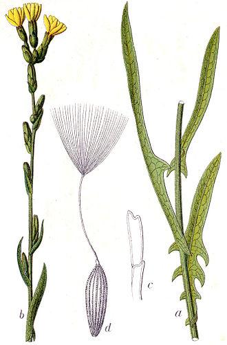 Lactuca saligna - Lactuca saligna by Jacob Sturm, 1796
