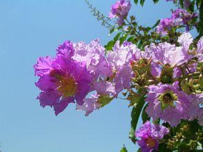 Blüte von Lagerstroemia speciosa