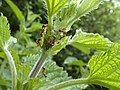 Lago Pudro - Ants and aphids on a nettle.jpg