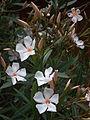 Landau Oleander cultivars.JPG
