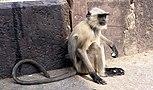 Langur monkey, Orchha, Madhya Pradesh, India.jpg