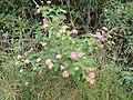 Lantana camara plant NC5.jpg