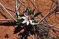Lapeirousia arenicola (Iridaceae) (36764442053).jpg