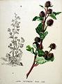 Lappa intermedia — Flora Batava — Volume v20.jpg