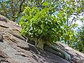 Large-leaved Rock Fig (Ficus abutilifolia) (13960371426).jpg