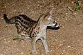 Large-spotted Genet (Genetta tigrina) (17182271029).jpg