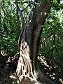 Large Strangler Fig Base - panoramio.jpg