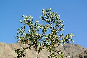 Larrea tridentata - Larrea tridentata in Anza-Borrego Desert State Park