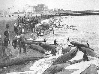 False killer whale - Mar del Plata in Argentina in 1946, the largest false killer whale stranding