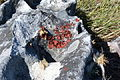 Lasallia rubiginosa (8457646383).jpg