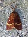 Lasiocampa quercus Santa Fiora 02.jpg