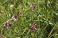 Lathyrus sylvestris coteau-charteves 02 13072007 3.jpg