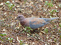 Laughing Dove (Streptopelia senegalensis) (11856271194).jpg