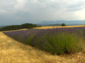 Lavendelfeld.png