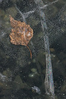 Leaves in Ice 1.JPG