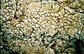 Lecanora albella-1.jpg