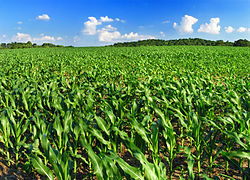 Corn growing in the township