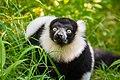 Lemur (24169193768).jpg
