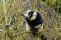 Lemur (26618854897).jpg