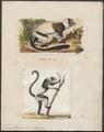 Lemur macaco - 1700-1880 - Print - Iconographia Zoologica - Special Collections University of Amsterdam - UBA01 IZ19700010.tif