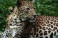 Leopard (3953423478).jpg