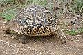 Leopard Tortoise (Stigmochelys pardalis) (17331907085).jpg