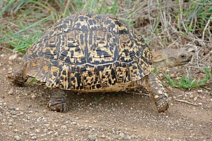 Leopard tortoise - On the S90 Road north of Satara, Kruger National Park, South Africa
