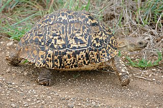Leopard tortoise species of reptile