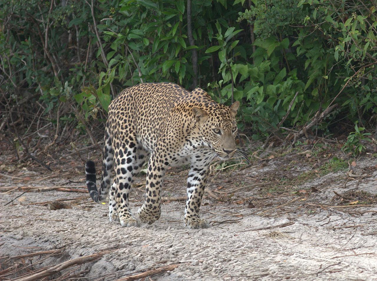 Sri Lankan leopard (source: Wikipedia)