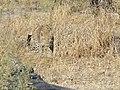 Leopard stalking.JPG