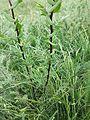 Lepidium perfoliatum sl5.jpg