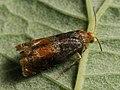 Lepteucosma huebneriana (39470317920).jpg