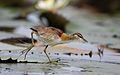 Lesser Jacana, Microparra capensis, Chobe River, Botswana (31838371380).jpg