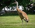 Lesser Sandhill Crane (42603728104).jpg