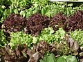 Lettuce from lalbagh 2294.JPG