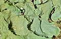 Lichen (Lobaria amplissima) (8579566717).jpg