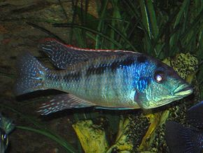 Description de l'image Lichnochromis acuticeps 001.jpg.