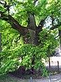 Liernu - Gros Chêne1.jpg