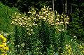 Lil ciliatum 02Hab Tuerkei Ziganapass 30 06 93bs3.jpg
