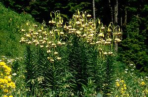 Zigana Pass - Image: Lil ciliatum 02Hab Tuerkei Ziganapass 30 06 93bs 3