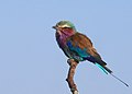 Lilac-breasted Roller (14763933502).jpg