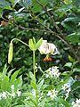 Lilium cf. ledebourei - Flickr - peganum (8).jpg