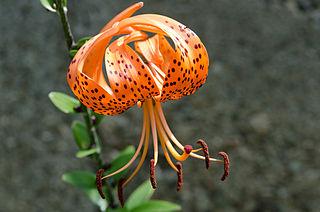 <i>Lilium lancifolium</i> Species of lily