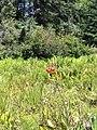 Lilium occidentale 9.jpg