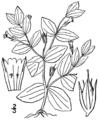Lindernia dubia var dubia BB-1913.png